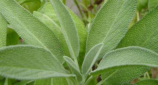 Chá de Sálvia Emagrece? Ajuda a Melhorar a Saúde?