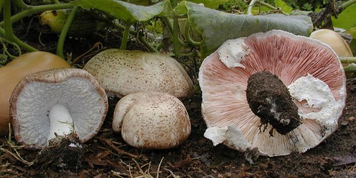 Cogumelo Agaricus Blazei para Emagrecer? - O Cogumelo do Sol